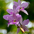 Orchids For You by Carol  Bradley