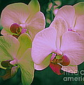 Orchids In Pink And Green by Dora Sofia Caputo Photographic Design and Fine Art