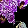 Orchids On Black Background by Deb Buchanan
