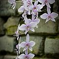 Orchids Pictures 47 by World Wildlife Photography