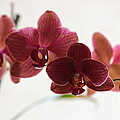 Orchids Serenity by Carol Groenen
