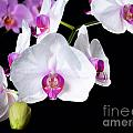 Orchids by Sinisa Botas