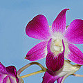 Orchids With Blue Sky by Karen Adams