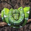 Orderly Snake by Susan Desmore