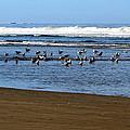 Oregon Coast Seabirds by Ed Mosier