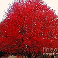 Oregon Red Maple Beauty by Kim Petitt