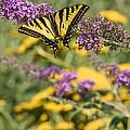 Oregon Swallowtail In The Garden  by Karen Forsyth
