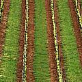 Oregon Vineyard Rows Panoramic by Mike Nellums