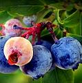 Organic Blues by Karen Wiles