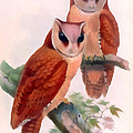 Oriental Bay Owl by John Gould