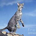 Oriental Cat by Jean-Michel Labat