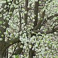 Oriental Pear Tree by Bonnie Willis