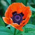 Oriental Poppy Flower by DejaVu Designs