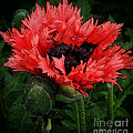 Oriental Poppy by Mike Nellums