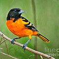 Oriole Perched by Timothy Flanigan