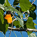 Oriole Watching by Cheryl Baxter