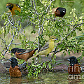 Orioles At The Pool by Anthony Mercieca