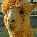 Orion The Alpaca by Emmy Vickers