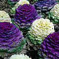 Ornamental Cabbage by Amy Cicconi