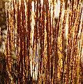 Ornamental Golden Grass by Mick Anderson