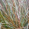 Ornamental Grass Abstract by E Faithe Lester