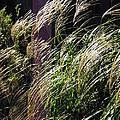 Ornamental Grass by D L Gerring
