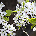 Ornamental Pear Blossoms No. 1 by Greg Hager