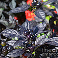 Ornamental Peppers by Luther Fine Art