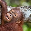 Orphan Baby Orangutan by Louise Heusinkveld