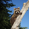 Orphaned Raccoon by James Peterson