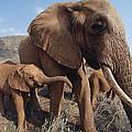 Orphans Malaika With Nyiro Tsavo Kenya by Gerry Ellis