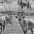 Oryx Black And White by Douglas Barnard