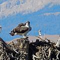 Osprey And Catch by Heather Coen
