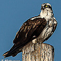 Osprey by Brian Williamson
