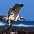 Osprey Bringing Home The Bacon by Kathleen Bishop