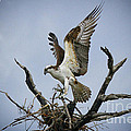Osprey Building A New Nest by Barbara Bowen