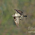 Osprey Carrying Small Fish by Anthony Mercieca