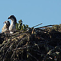 Osprey Chicks In Nest by Mick Anderson