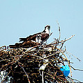 Osprey Couple by Kimmary MacLean