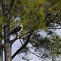 Osprey by David Arment