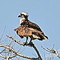 Osprey by Carol  Bradley