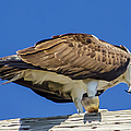 Osprey Eating Lunch by Dale Powell