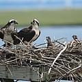 Osprey Family by Diane Rada