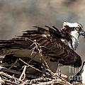 Osprey Family Huddle by John Daly