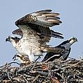 Osprey Family by Larry Gambon