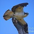Osprey Feeding by Amazing Jules