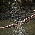 Osprey Fishing The Nequasset River by Allen Ponziani