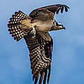 Osprey Flying Away by Robert Bales
