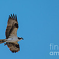 Osprey Flying Home With Dinner by Robert Bales