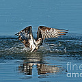 Osprey Getting Out Of The Water by Anthony Mercieca